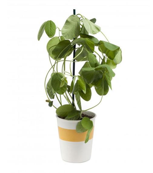Edamame planta para recolectar